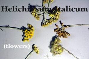 semi di elicriso italico