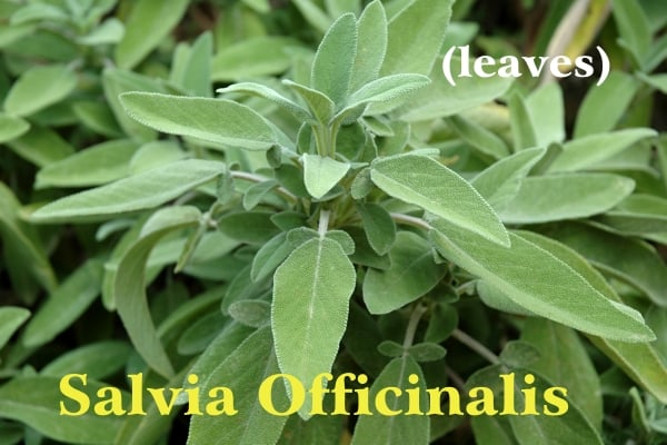 Salvia bianca